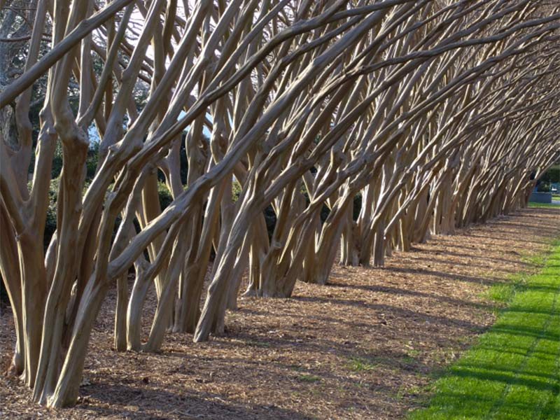 Crape Myrtle Care & Pruning