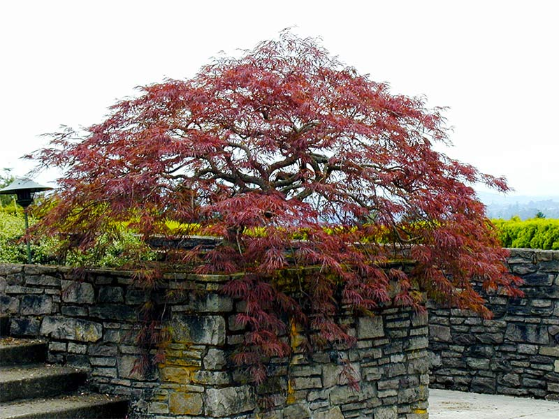 Tips for Pruning Your Japanese Laceleaf Maple Tree